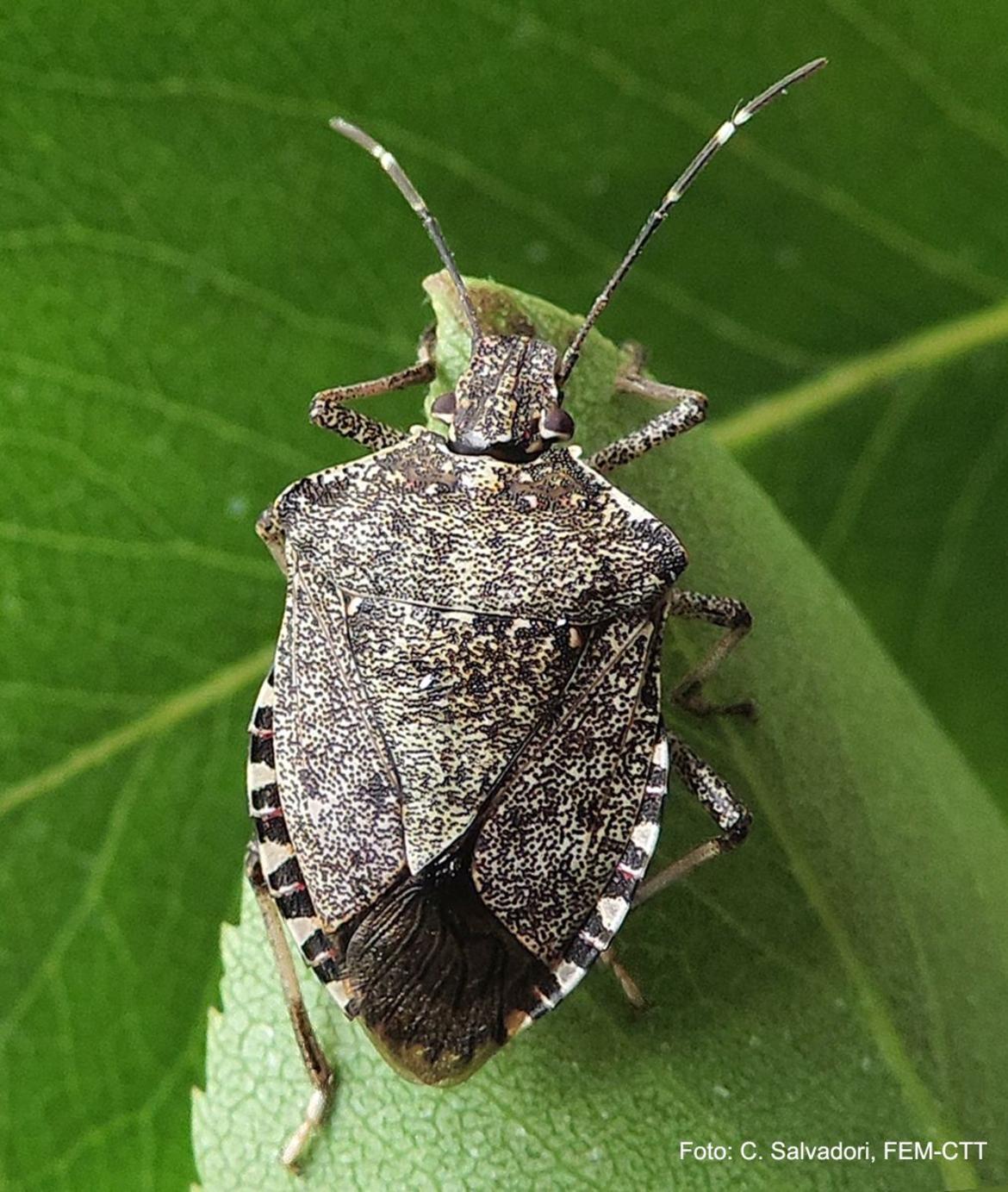 Rinvenuta in trentino la cimice asiatica marmorata fem in for Cimice insetto