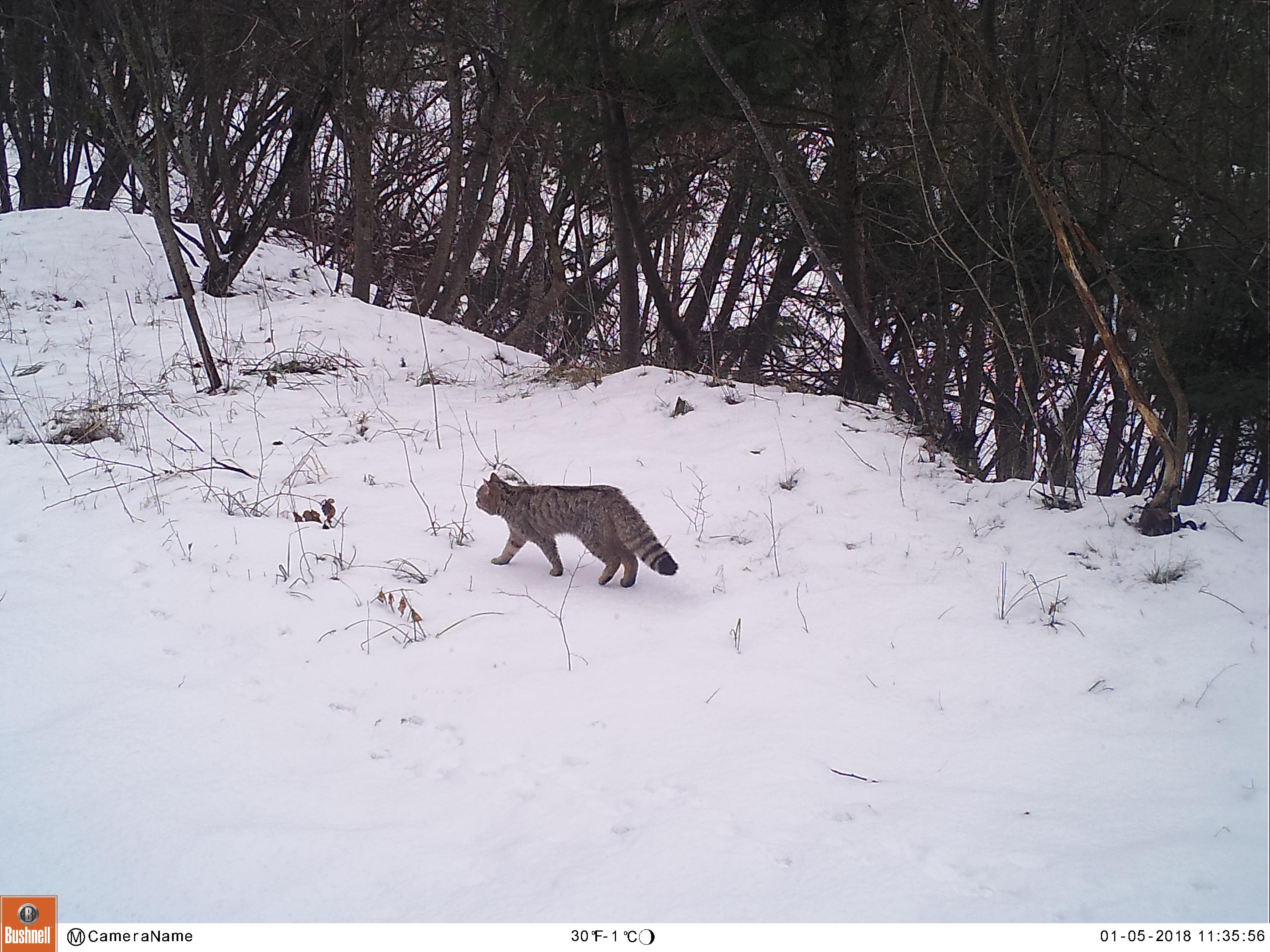 Il Gatto Selvatico Fa La Sua Prima Comparsa Sul Monte Bondone